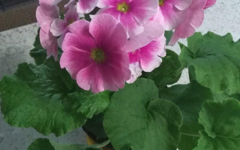 Зеленое растение с розовыми цветками
