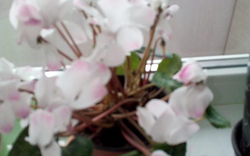Цветок с круглыми листьями и белыми цветами