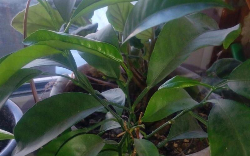 Деревовидное растение