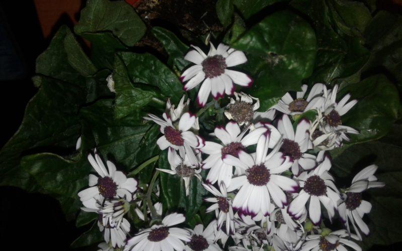 Белые цветы с красной сердцевиеой