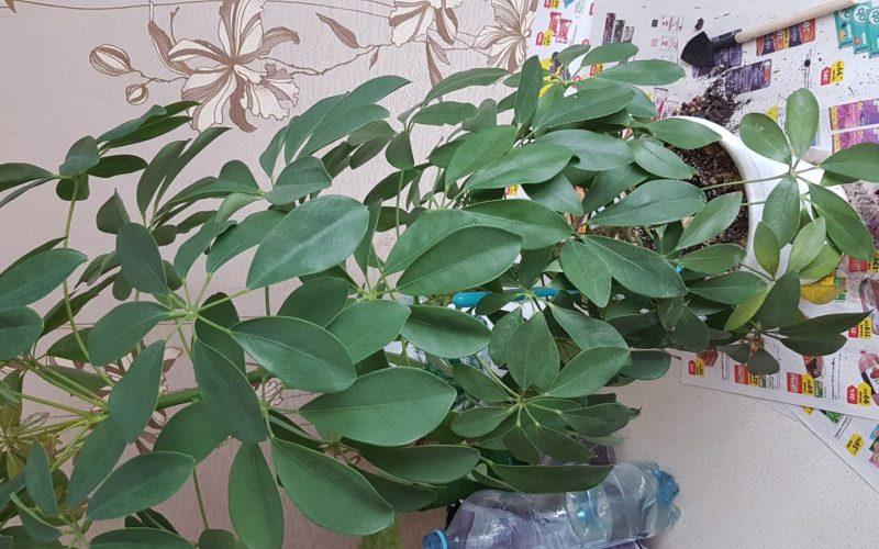 Зедюленок растение без цветов