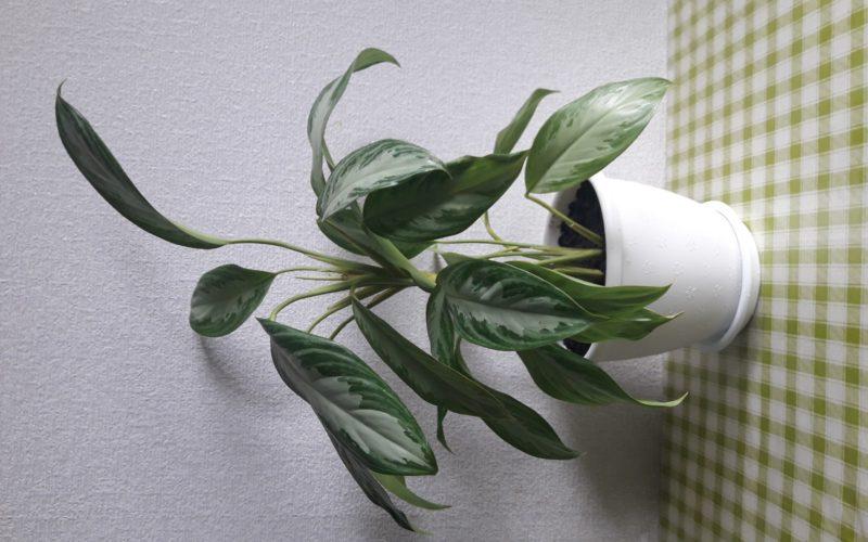 Растение с длинными расписании листьями
