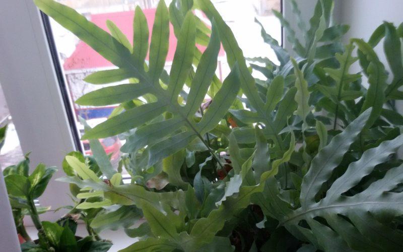 бледное — зеленое растение, с крупными листьями