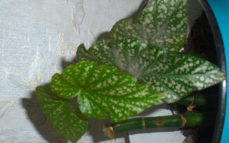 высокое растение с большими листьями в крапинку