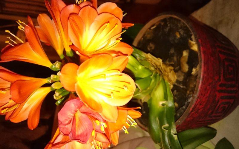 Оранжевые цветки на одном толсттом стебле