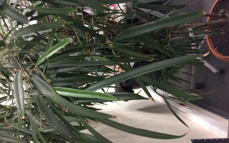 Высокий куст с листьями как у олеандра.