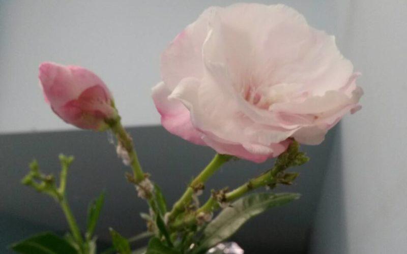 Большое растение,цветы пахнут