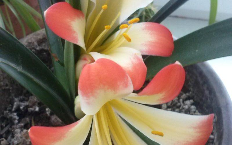 Луковичное растение с очень красивыми цветами