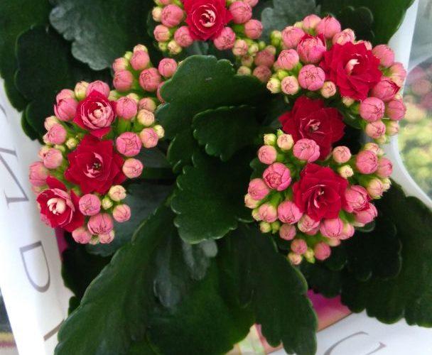 Растение с красными цветочками