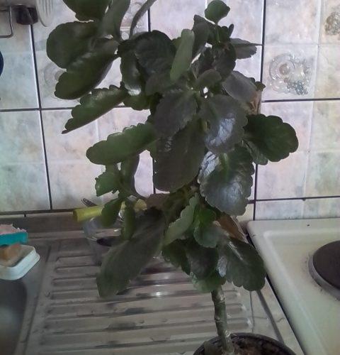 Зеленое растение, гладкие листья на одном стволе