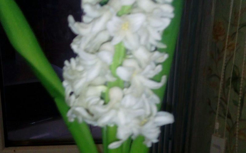 Цветущих