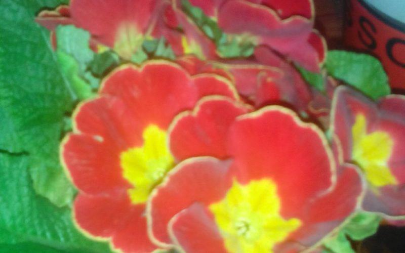зеленое листья с красными цветками а внутри цветкп желтенькая серединка