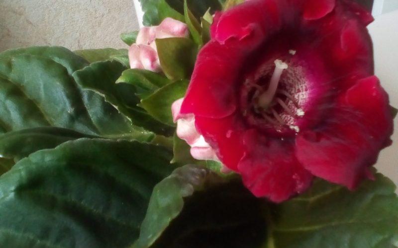 зеленое растение с бордовыми цветами
