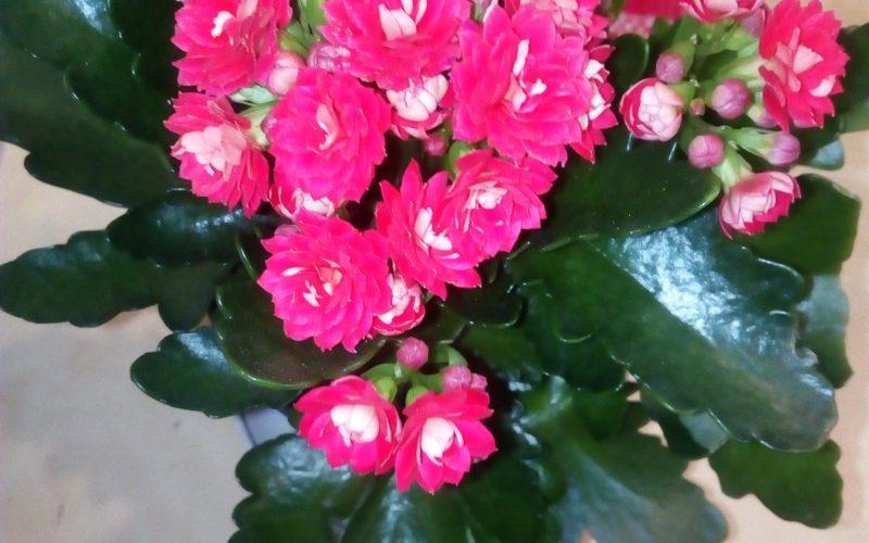 Глянцевые листья с маленькими розовыми цветами