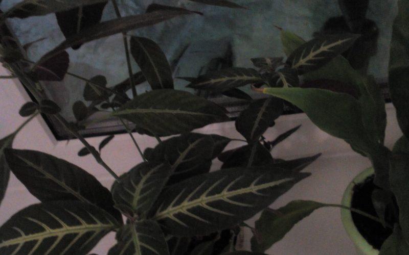 Растение зеленое с белыми прожилками
