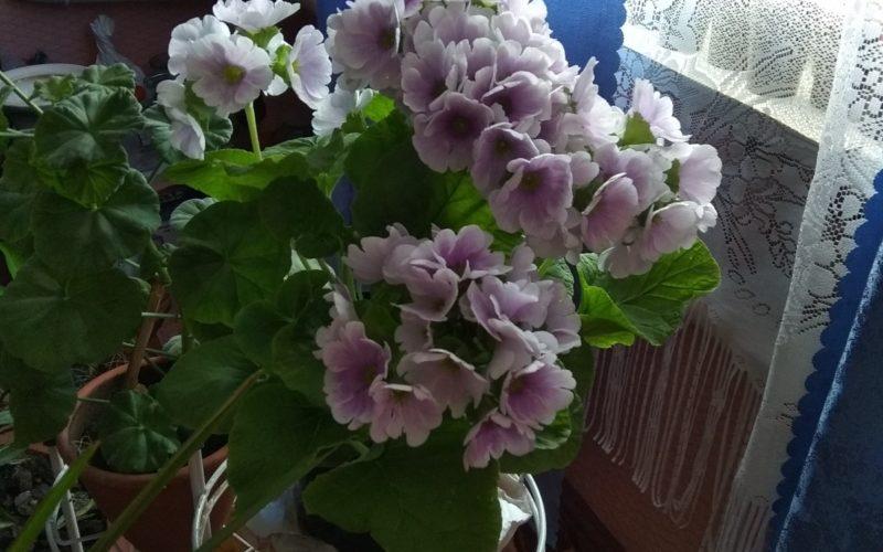 Зелёное растение с лиловыми цветами