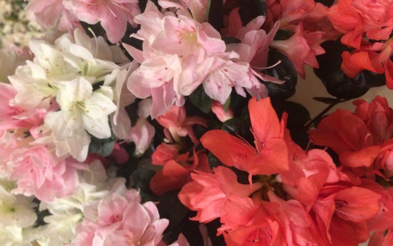 Трёхцветный цветок