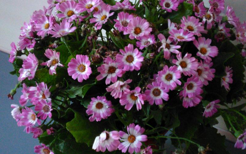 Цветок похожий на маленькие ромашки