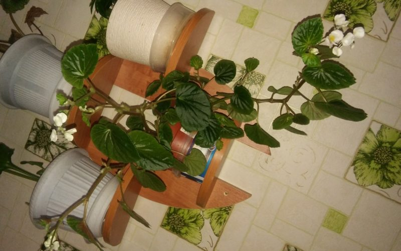 зеленые листья с белыми цветами