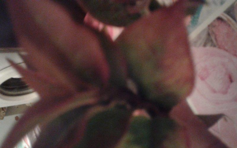 Растение с зеленокрасными листьми.молочаеный