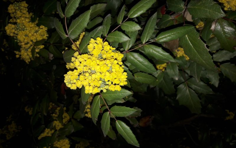 Куст с желтыми цветами