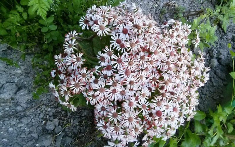 Зеленое растение с пестрыми цветами