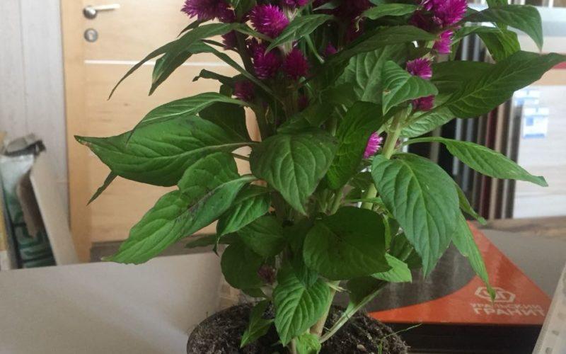Зеленое растение с сиреневыми цветами