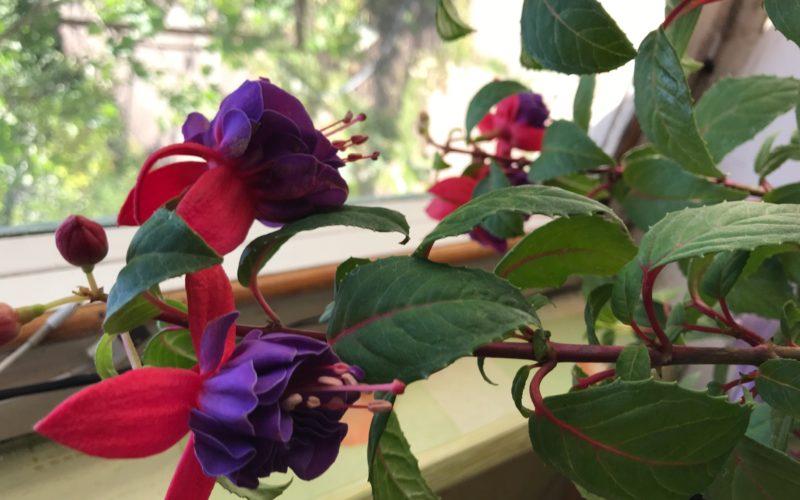 Зеленое растение с фиолетовыми цветами