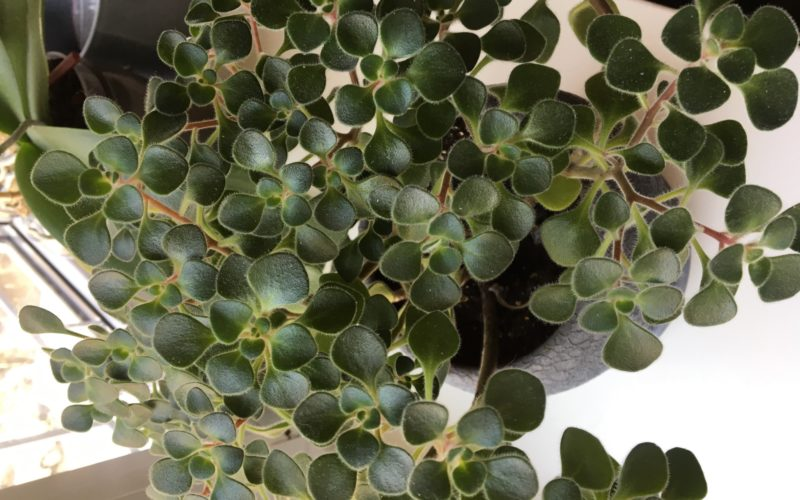 Комнатные растения с небольшими пушистыми листочками