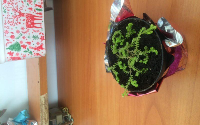 Зеленое растение, вьющееся по земле, похожее на папоротник