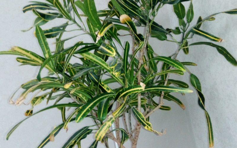 Зеленое растение на высоком древесном стебле длинные узкие листья зеленоватые