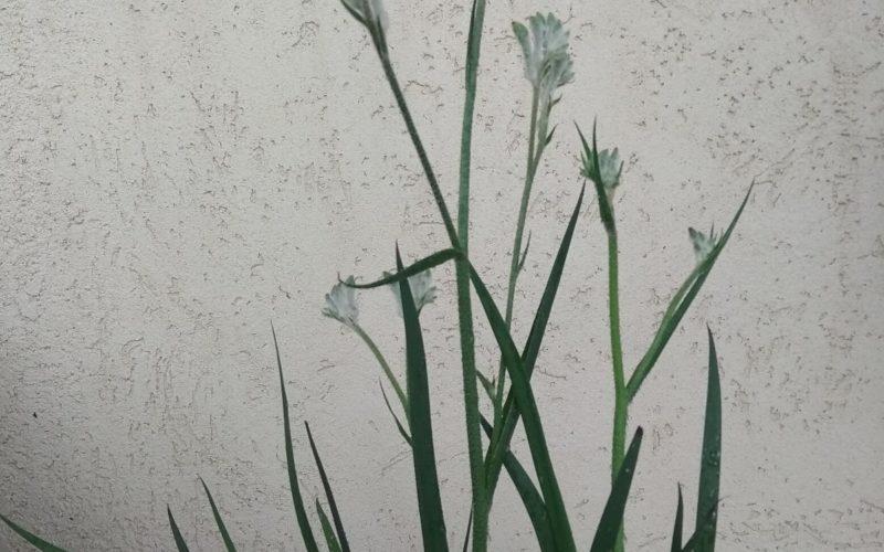Зелёное растение с велюровыми цветами
