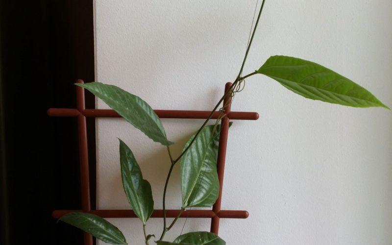 Вьющееся с зелёными листьями и усами