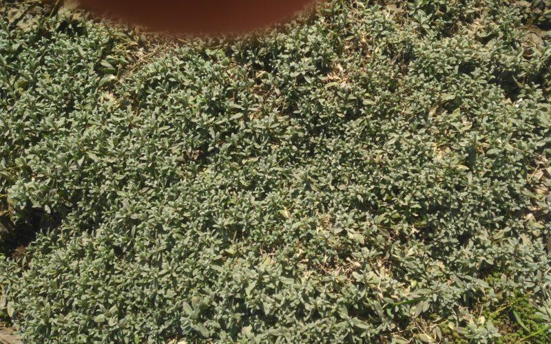вечно зеленое растение