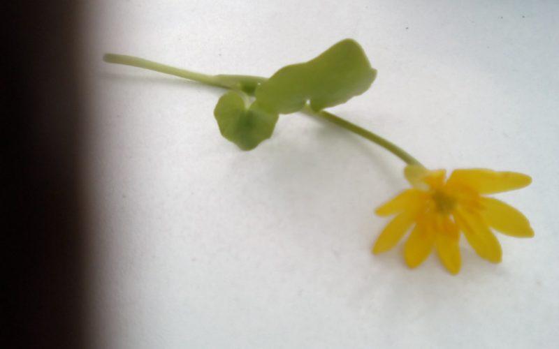 Зелёное растение с жёлтыми цветами
