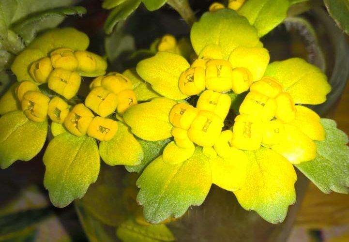 уличное растение с желтыми цветами