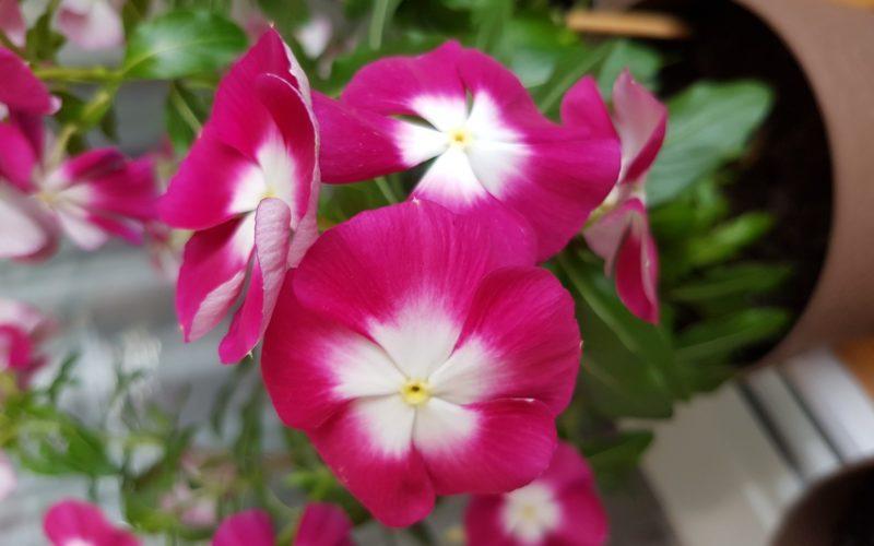 Цветок с малиновыми цветами