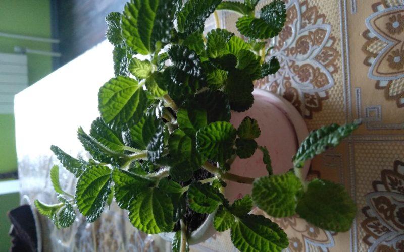 Зелёное растение ампельное