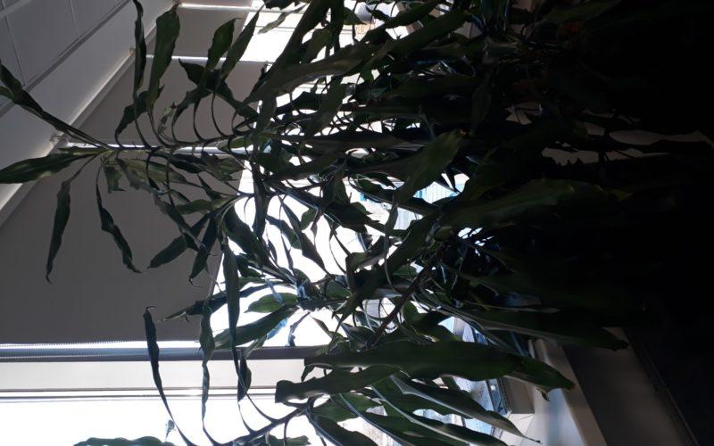 Дерево/ листья зеленые, продолговатые