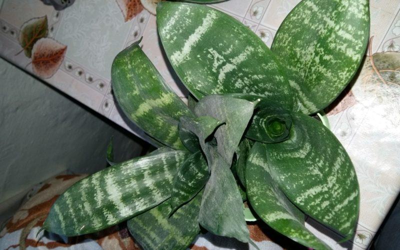 Зеленое растение с острыми листьями