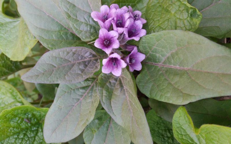 Весенний цветок с темной листвой