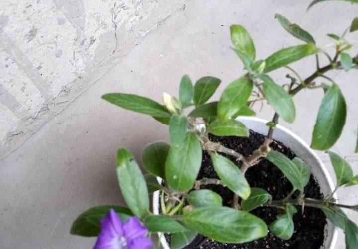 комнатное растение цветет голубыми цветками
