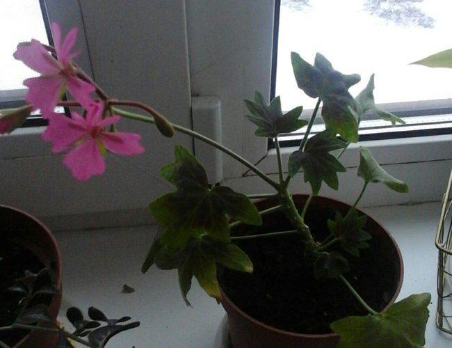 растение с цветами ,как звёздочки.