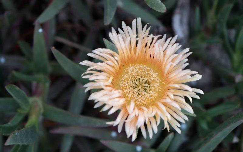 Цветок с желтой сердцевиной