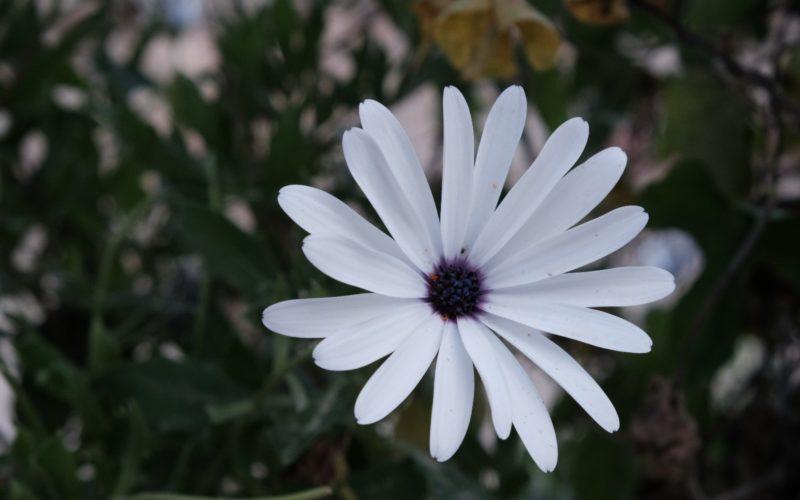 Белые лепестки с фиолетовой сердцевиной