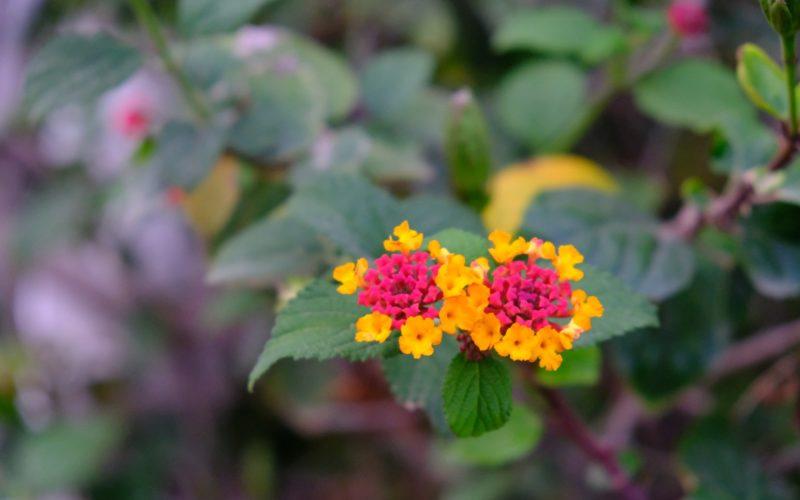 Желто-красные мелкие цветочки