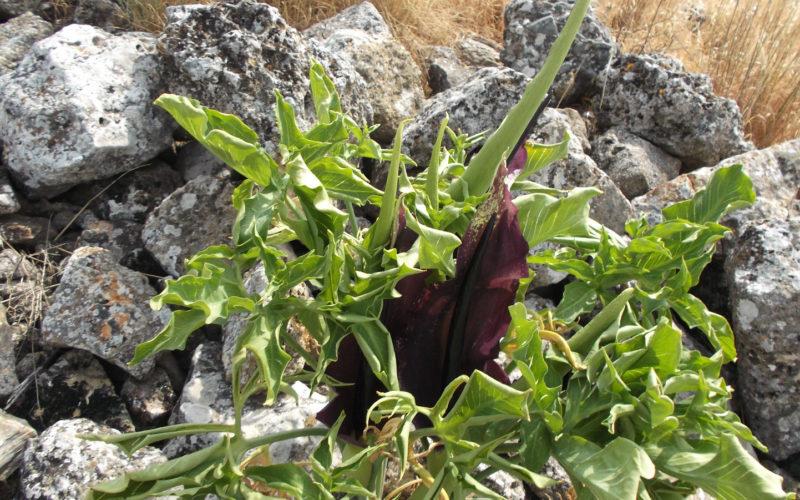 растение с темно фиолетовым цветком