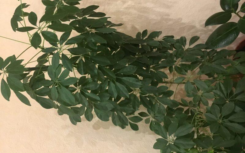 Зеленое высокое растение с мелкими листами
