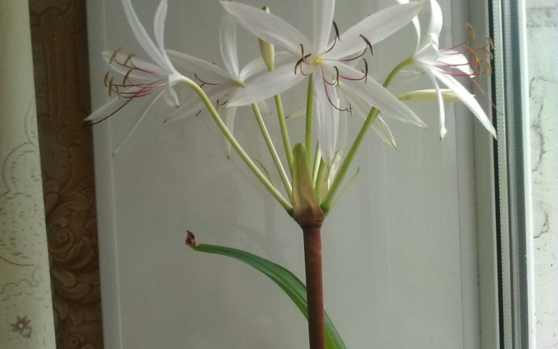 Комнатный цветок с длинными зелёными листьями от корня.