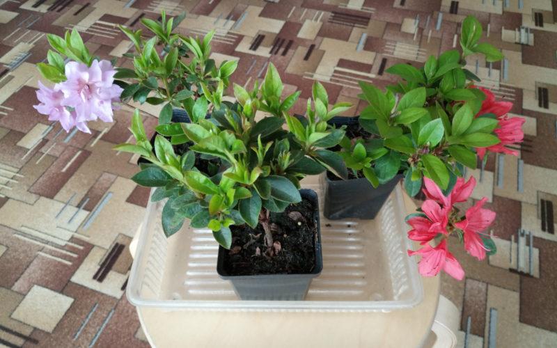 цветущее растение с цветами разного цвета